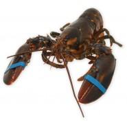 Live Canadian Lobster 1kg